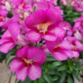lejongap-violet-12cm-kruka-1