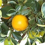 citrus-pursha-ministam-1