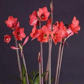 amaryllis-pink-garden-1