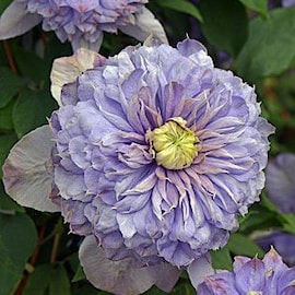 klematis-blue-light-pbr-9cm-kruka-1