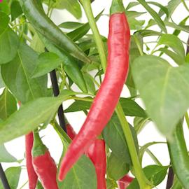 chili-hot-fire-flame-911-105cm-kruka-1