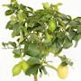 citron-stam-h70-80cm-20cm-kruka-2