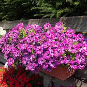 petunia-surprise-sparkling-purple---3-plantor-1