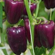 paprika-snack-lilac-violet-105cm-kruka-1