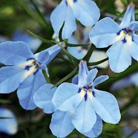 lobelia-curacao-light-blue---3-plantor-1