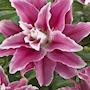lilja-sweet-rosy-1