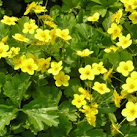 waldsteinia-9cm-kruka-1