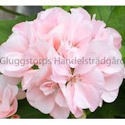 zonalpelargon-mrbacka-harald-rosa-1