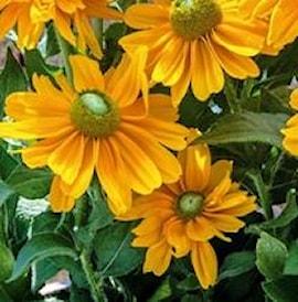 sommarrudbeckia-amarillo-gold-105cm-kruka-1