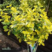 kltterbenved-emeraldn-gold-2-3l-1