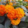 eldkrona-orange-stam-17cm-kruka-4