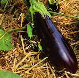 aubergine-sultane-105cm-kruka-1