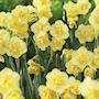 bukettnarciss-yellow-cheerfulness-5st-5