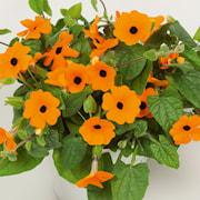 svartga-suneyes-orange-new-105cm-kruka-1