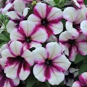 petunia-sweetunia-purple-touch---3-plantor-1