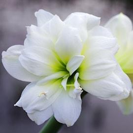 amaryllis-marilyn-1st-1