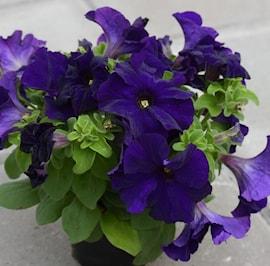 petunia-limbo-blue-9cm-kruka-1