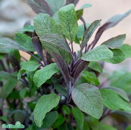 kryddsalvia-purpurascens-12cm-kruka-1