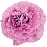 nejlika-pink-1