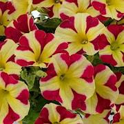 petunia-amore-queen-of-hearts-105cm-kruka-1