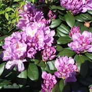 rhododendron-catawbiense-grandiflorum-225cm-1