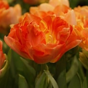 sen-fylld-tulpan-orange-angelique-8st-1