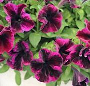 petunia-gotunia-cosmic-purple-105cm-kruka-1