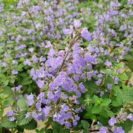 kantnepeta-purrsian-blue-12cm-kruka-1