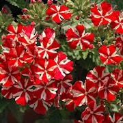 trdgrdsverbena-estrella-voodoo-red-star---3-p-1