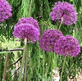 purpurlk-purple-sensation-storpack-15st-1