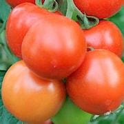 tomat-rougella-105cm-kruka-1