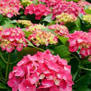 hortensia-endless-summer-love-50-l-co-1
