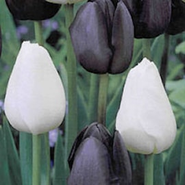 tulpan-black-white-1