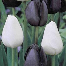 tulpan-black-white-20st-1