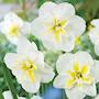 stjrnnarciss-lemon-beauty-4st-2