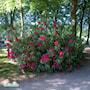rhododendron-nova-zembla-3