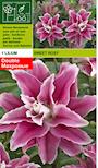 lilja-sweet-rosy-3