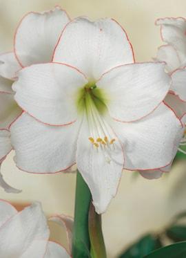 amaryllis-picotee-1
