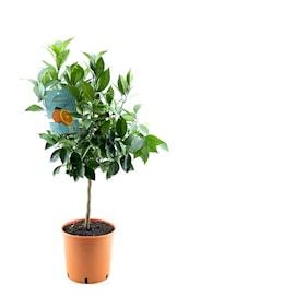 blodapelsin-stam-h-70-80cm-20cm-kruka-1