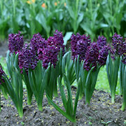 hyacint-dark-dimension-2st-1