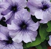 petunia-limbo-blue-vein-9cm-kruka-1