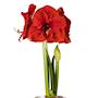 afrikansk-amaryllis-merry-christmas-1st-2
