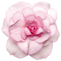 flitiga-lisa-fiesta-appleblossom-9cm-kruka-2