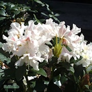 rhododendron-cunninghams-white-1