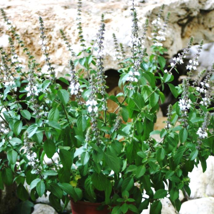 Basilika 'Magic White' 10,5cm kruka