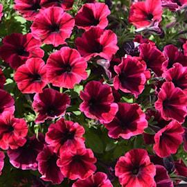 sweetunia-suzie-storm---3-plantor-1