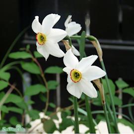 pingstlilja-recurvus-5st-1