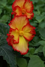 begonia-crispa-marginata-2st-2