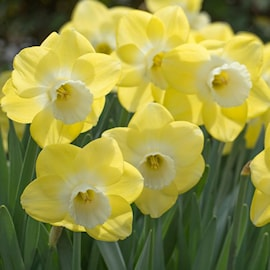 stjrnnarciss-avalon-5st-1