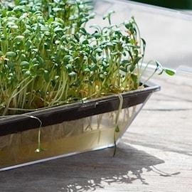 odlingskit-med-groddar-1